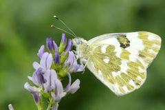 Butterfly. A butterfly lands on flowers Stock Images