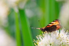 Butterfly. Red/orange/black butterfly on the flower Royalty Free Stock Photos