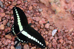 Butterfly. Common names Bended Swallowtil Stock Photos
