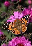 Butterfly. (Painted Lady) sitting on flower (chrysanthemum Royalty Free Stock Photography
