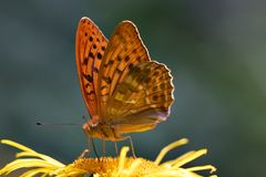 Butterfly. Orange butterfly Royalty Free Stock Photo