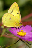 Butterfly. A yellow butterfly are feeding pollen Stock Photo