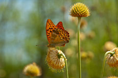Butterfly. Red butterfly on flower (shallow depth of field Royalty Free Stock Image