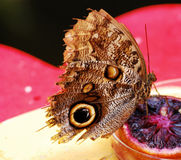 Butterfly. A butterfly eating an orange slice royalty free stock image