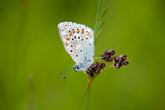 Butterfly. With orange spotted wings on a soft green backgroud royalty free stock photography