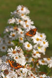 Butterfly. Two butterflies (Aglais urticae) collecting nectar stock photography