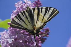 Butterfly. Nice black and white butterfly  on flower Stock Image