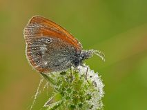 Butterfly. Early morning. Dew. The Chestnut Heath stock photography