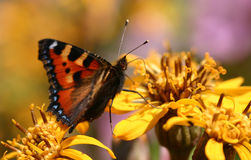 Butterfly. On flower Royalty Free Stock Photography
