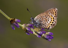 Butterfly. Beautiful Lycaenidae butterfly on lavender Stock Photos