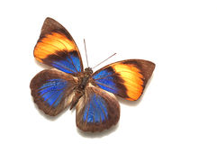Butterfly. Callicore hydaspes, a butterfly from south America Stock Images