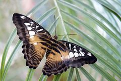Butterfly. Big exotic butterfly sitting on a green leaf Stock Photo