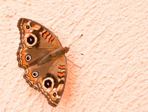 Free Butterfly Royalty Free Stock Photos - 24162448