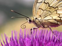 Butterfly. This is silken butterfly on a pink flower stock image