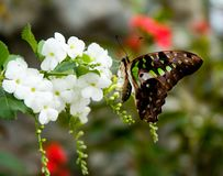 Butterfly 25. A close-up of a colorful butterfly feeding on a white flower Royalty Free Stock Photos