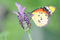 Butterfly. Hebomoia butterfly have a rest on the purple flower Royalty Free Stock Images