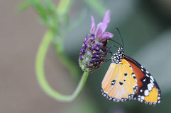 Butterfly. Hebomoia butterfly have a rest on the purple flower with the blur background Royalty Free Stock Photos