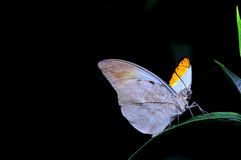 Butterfly. Hebomoia butterfly have a rest on the grean leaves with black background Stock Image