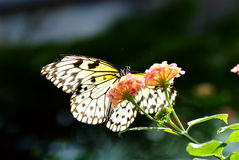 Butterfly. A butterfly sitting on a flower Royalty Free Stock Images
