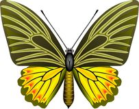 Butterfly. Tropical butterfly stock illustration