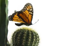 Butterfly. Monarch butterfly over cacti, isolated on white Stock Images