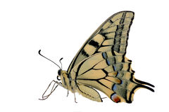 Butterfly. Papilio Machaon isolated on white Stock Photo
