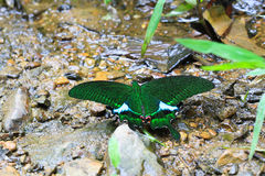 Butterfly. Beautiful emerald green butterfly at the core of Thai login Royalty Free Stock Photography