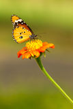 Butterfly. Closeup Monarch Butterfly feeding on orange flower Royalty Free Stock Photos