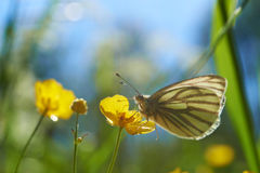 Free Butterfly Royalty Free Stock Photos - 26100588