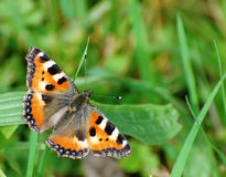 Butterfly. A read butterfly sitting in the grass royalty free stock photo