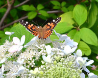 Butterfly. Painted Lady butterfly (Vanessa cardui Stock Photography