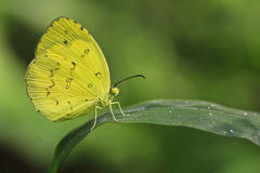 Butterfly. Yellow butterfly in the garden from Thailand Royalty Free Stock Image