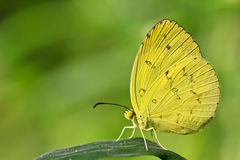 Butterfly. Yellow butterfly in the garden from Thailand Royalty Free Stock Images