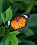 The Butterfly Royalty Free Stock Photography