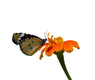 Butterfly. Monarch Butterfly on a Mexican Sunflower ,isolated on white background Stock Photo