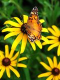 Butterfly. At work resting on a Brown Eyed Susan, Virginia U.S.A Stock Photography