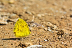 Butterfly. Yellow butterfly in the garden from Thailand Stock Photo