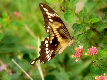 Butterfly. Slight blur on front wing because of wing movement Stock Image
