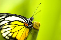 Butterfly. Photo of a butterfly with natural background royalty free stock image