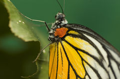 Butterfly. Photo butterfly with green background royalty free stock images