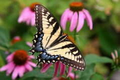 Butterfly. Feeding on cone flower Royalty Free Stock Image
