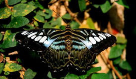 Butterfly. The Raja Brook Butterfly Royalty Free Stock Images