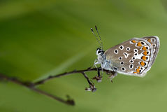 Butterfly. Blue butterfly and fragrant flowers Stock Images