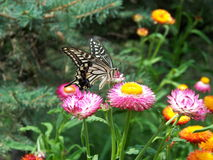 Butterfly. Butterflies fly in the flowers Royalty Free Stock Photo