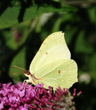 Butterfly. White butterfly sitting on a lilac flower stock photos