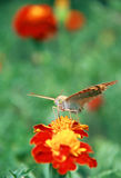 Butterfly. Feeding on a orange flower in morning nature Royalty Free Stock Images
