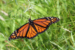 Butterfly. Monarch sitting on the grass royalty free stock photos