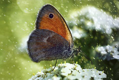 Butterfly. On a flower on a rainy day Royalty Free Stock Photos