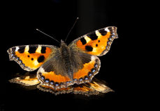 Butterfly. The Small Tortoiseshell is a colourful and well-known Eurasian butterfly Royalty Free Stock Image