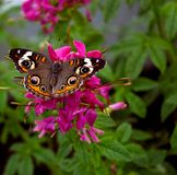 Butterfly 29. A butterfly with what looks like eyes on its wings feeds on a flower Royalty Free Stock Images